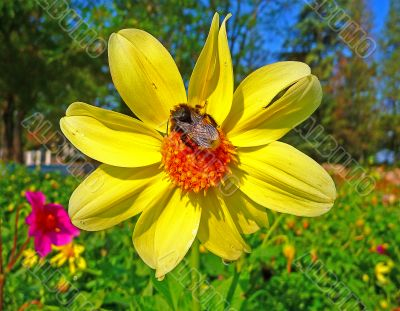 A bumble-bee sits on a flower