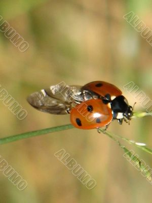 """little insect """"ladybird"""""""