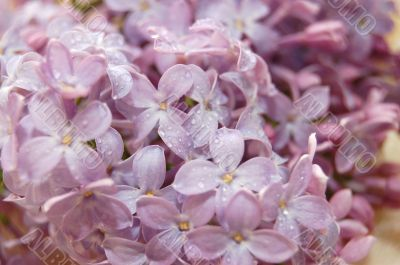 Background of colours of a lilac with water drops