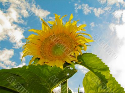Grand Sunflower at Blue Sky Background