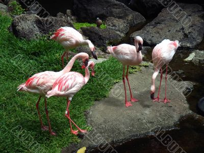 Several flamingo in the zoo