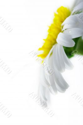 White camomile flower close-up against white background