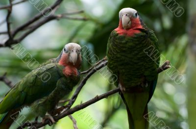 Two red-necked parrots