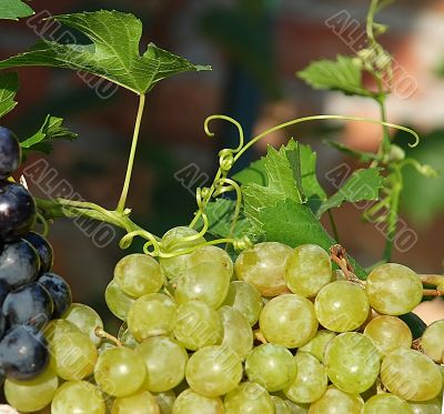 grapes and vine plant