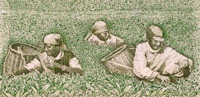 Farmers picking tea