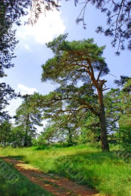 Pine tree in forest