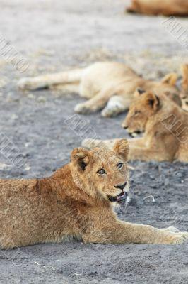 Lions at rest