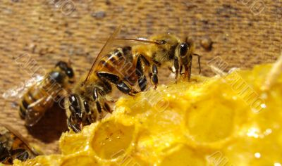 two bees eating 10609