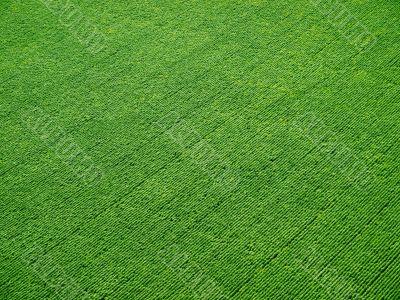 Green rows.