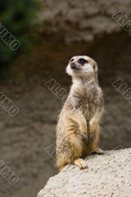 Standing suricate