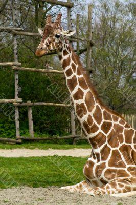 Sitting adult giraffe
