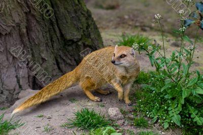 Yellow mongoose under the tree