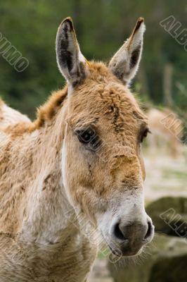 Donkey looking at camera