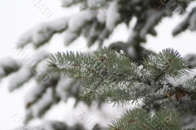 Pine tree branch 4