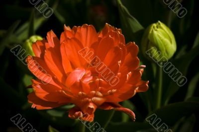 Holland Baby Tulip