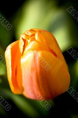 Apricot Impression Tulip