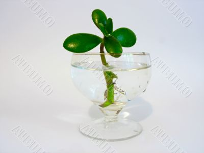 green leaves plant in a glass of pure water