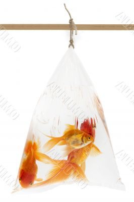 Goldfishes in the plastic bag