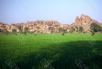 Rice Fields,India