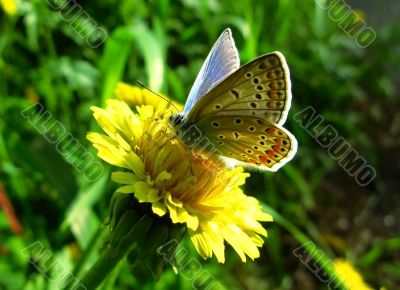 elegant and particolored butterfly