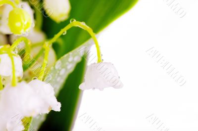Lily-of-the-valley on the white background with place for text
