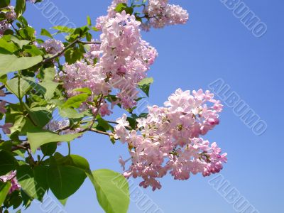 Blooms Lilac