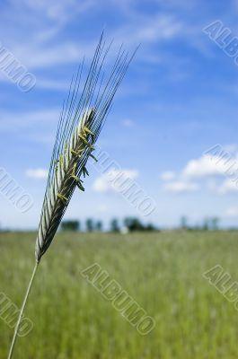 Wheat field on spring