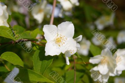 blossom jasmine flower