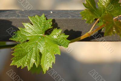 Growing vine plant closeup