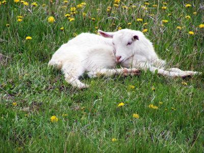 A little goat