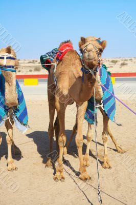 Robot controlled camel racing
