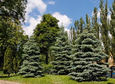 Fir-trees, poplars and chestnut trees in park