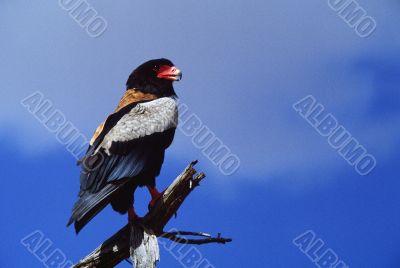 Bateleur Eagle on Perch