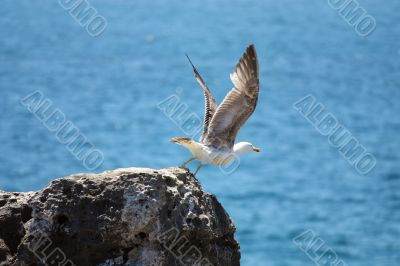 Seagull about to fly off the cliff