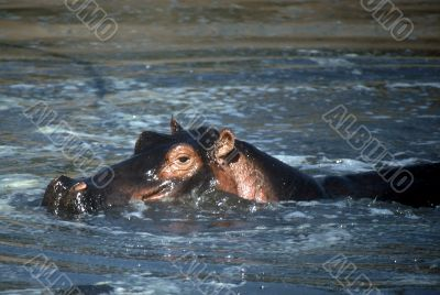 Hippo,Tanzania