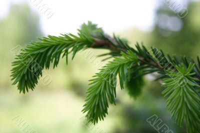 Young branch spruce