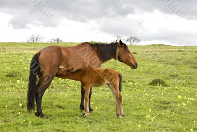 horse and foal drinking milk
