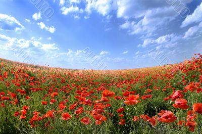Poppy landscape on the sunny day