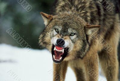 Snarling Gray Wolf in winter