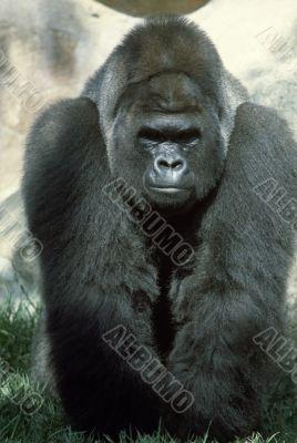 Gorilla in the Grass
