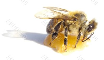 bee eating honey over white background