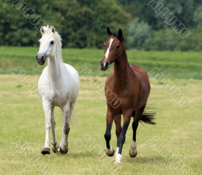 Brown and white horse together
