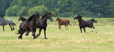Nice herd with friesian horses also