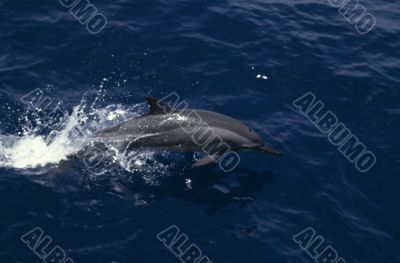 Spinner Dolphin, Papua New Guinea