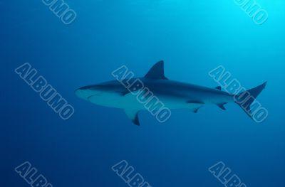 Snub Nose Blacktip Reef Shark