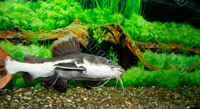 sheat-fish