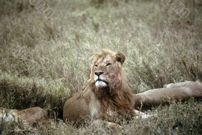 Lion,Serengeti