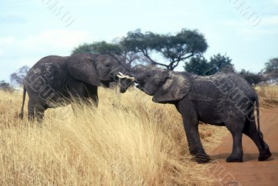 Elephants,Serengeti