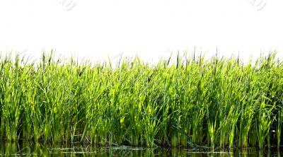 River cane