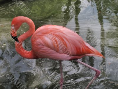 A red flamingo in Flamingo Gardens in Florida